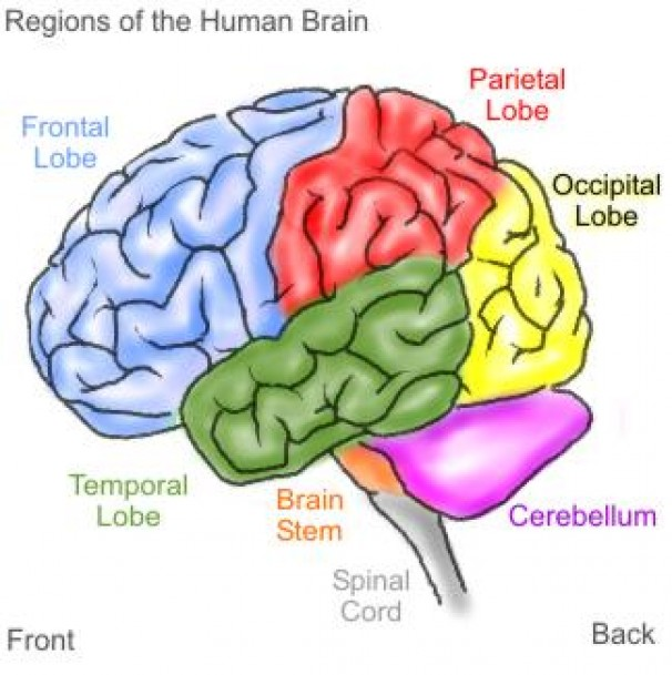 drug affect the brain stem